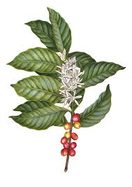 Coffee Botanical Illustration