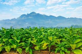 Vinales Tobacco Fields And Mountains