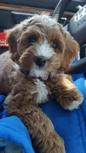 Cavapoos Do They Shed by Best 25 Labradoodle Pictures Ideas On Pinterest Little Dogs A