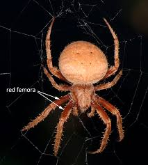 It's That Time Of Year Again | Spidersrule Spiders At Spiderzrule The Best Site In World About Spiders 5 Venomous Found Colorado Outthere 109 And Webs Images On Pinterest Nature Ohios Biting Spidersrule The Barn Spider Pets Cute Docile Bug Eric Sunday Western Spotted Orbweaver Araneus Gemmoides Wikipedia Poisonous Georgia