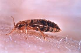 This is What Bed Bugs Look Like