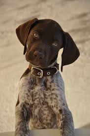German Shorthaired Pointer Shed Hunter by German Shorthaired Pointer Chango Listening Closely Woof