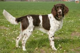 German Shorthaired Pointer Shedding by German Longhaired Pointer Dog Breed Information Buying Advice