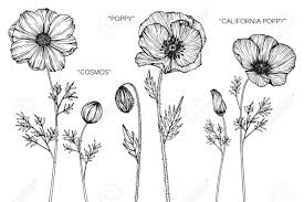 Cosmos Poppy And California Flower Drawing Sketch With Black White Line