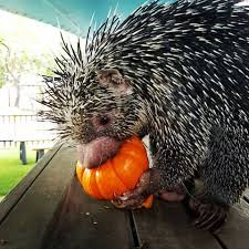Porcupine Eats Pumpkin by Images Tagged With Prehensiletailedporcupine On Instagram