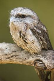 370 Best Frogmouths Images On Pinterest | Birds, Owls And ... Introduced Birds Birds In Backyards Best 25 Bird Watching Ideas On Pinterest Pretty Backyard 510 Best Birds Of A Feather Images Blackwinged Stilt 2016 Results Aussie Count Rainbow Lorikeet Evolve Their Behavior Without Chaing Bodies The To Feed Or Not To Audubon Female Blackbird Front Yard And Landscaping Ideas Designs Country Garden Striped Honeyeater Inland E Australia My