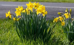 planting daffodils in city sidewalk tree pits and the daffodil