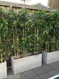 planting bamboo in a pot best 25 bamboo screening ideas on bamboo garden
