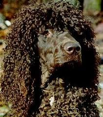 irish water spaniel dog breed information and pictures