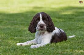 Springer Spaniel Shed Hunting by English Springer Spaniel Dog Breed Information Buying Advice