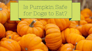 Pumpkin For Pets Diarrhea by Pumpkin For Dogs Canned Raw Or Cooked Smart Dog Owners