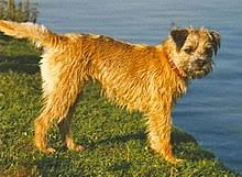 Border Terrier Non Shedding by Border Terrier Wikipedia