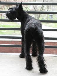 Do Giant Schnauzers Shed by Five Best Personal Protection Dog Breeds Pethelpful