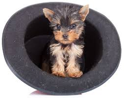 teacup yorkie the pocket sized yorkshire terrier