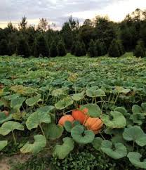 Tallahassee Pumpkin Patch by Octoberfest Springhill Tree Farm