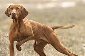 Do Vizsla Dogs Shed by Favorite Breeds Page 2 Topics On Exotic Domestic Farm And