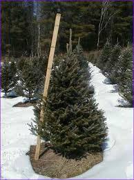 Fraser Christmas Trees Uk by Fraser Christmas Trees Uk Home Design Ideas