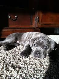 Cane Corso Hair Shedding by Old World Cane Corso Tiere Pinterest Dog Animal And Doggies