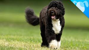 Portuguese Water Dog Non Shedding by Portuguese Water Dogs Facts Youtube