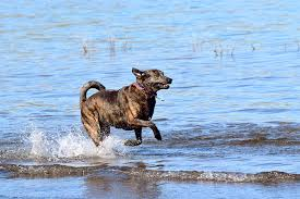 Low Shedding Dogs In India by Catahoula Leopard Dog Breed Information Pictures Characteristics