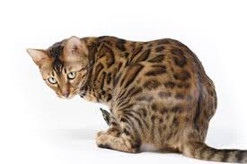 Bengal Cat Profile History Appearance and Temperament Cat World