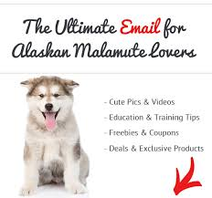 Do Malamutes Shed Hair by Things To Know Before Getting A Alaskan Malamute Advice From