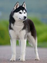 Large Dogs That Dont Shed by 15 Best Dogs That Dont Shed Images On Pinterest Dogs Clothing