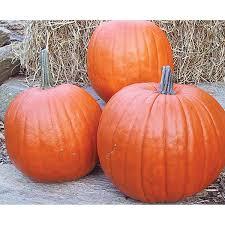 Connecticut Field Pumpkin by Howden Pumpkin Seeds Ne Seed