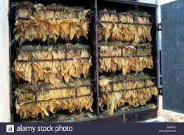 Tobacco 'NC71' Leaves Drying In Bulk Barn Stock Photo, Royalty ... Bulk Barn 18170 Yonge St East Gwillimbury On Perfect Place To Shop For Snacks Cbias Little Miss Kate Stop Over Paying Spices Big Savings At The Live Flyer Sep 21 Oct 4 A Slice Of Brie Thking Out Loud 8 Book Club This Opens Today Sootodaycom New Clothes Shopping Ecobag 850 Mckeown Ave North Bay Most Convient Store Baking Ingredients Gluten 6180 Boul Henribourassa E Montralnord Qc