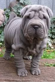 Do Mini Shar Peis Shed by Awwwwwww Shar Pei Want To Squish Face Super Cute