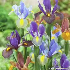 iris bulbs tiger mix american