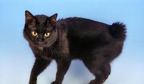 bobtail cat japanese bobtail cat breed information