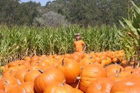 Pahls Pumpkin Patch by Pumpkin Patch Santa Cruz