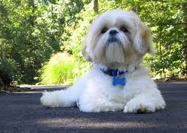 Shih Tzu Lhasa Apso Shedding by Shih Tzu Appearance Characteristics And Hd Pictures