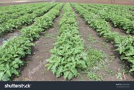 Solanum Bush Agriculture Food Crop Cultivated Stock Photo ... Bring The Farm To Your Backyard Innovation Smithsonian Guide Growing Rice Southern Exposure Seed Exchange Simple Vegetable Garden Monoculture Farming Has Been Taking A Toll On Farm Soil Hemp With Cabbage In Burgundy In Our A Weekend Willamette Valley 5 Cash Crops You Can Grow Gtblog Cowpea Annual Crop Stock Photo Picture And Plant And Manage Cover For Maximum Weed Suppression Extension Greenhouse Ftilizer Plants Flowers Landscaping Frontyard Three Things Very Dull Indeed Corn Backyard 2016 Weeks