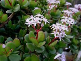 entretien plante grasse d interieur crassula crassula ovata arrosage entretien