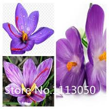 saffron seeds nz buy new saffron seeds from best sellers