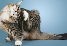 Excessive Hair Shedding In Cats by Cat Skin Problem Pictures Lice Fleas Ringworms Ear Mites And More