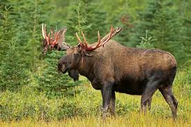 Moose Shedding Their Antlers by Do Moose Shed Their Antlers Antler Tips Finding Quot Sheds Quot