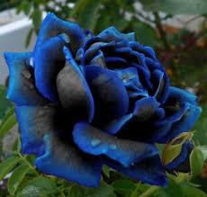 midnight blue flower seeds garden plant 25 discount
