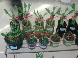 Plants In Bathroom Good For Feng Shui by Chinese Lucky Bamboo Plants Feng Shui Bamboo Placement