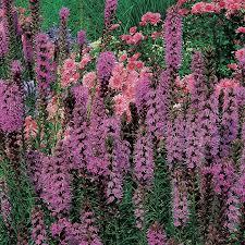 liatris spicata feather dobbies garden centres
