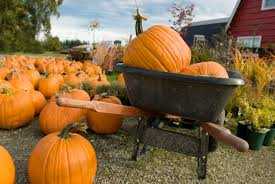 Pumpkin Picking In Ct by Pumpkin Patches Near New Haven