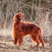 10 Dog Breeds That Shed The Most by The 10 Best Dogs For Kids And Families Petmd