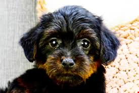 yorkie poo puppies for sale in texas designer dog breed for sale tx