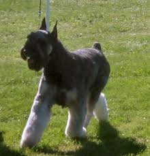 Do Giant Schnauzers Shed by Five Great Dog Breeds That Don U0027t Shed Much Pethelpful