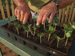 Stages Of Pumpkin Growth by How To Start Growing Squash From Seeds How Tos Diy
