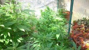 fin de floraison cannabis exterieur est il possible de cultiver hors saison oui en effet