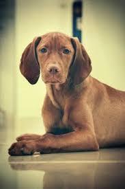 do vizsla dogs shed hungarian vizsla puppy puppies hound dogs vizsla
