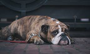 Do Bullmastiffs Shed A Lot by Are You Lazy But Still Want A Dog Take A Look At Top Couch Potato